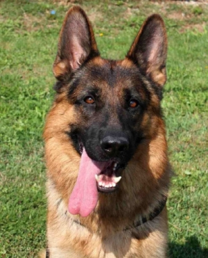 European German Shepherd Dogs