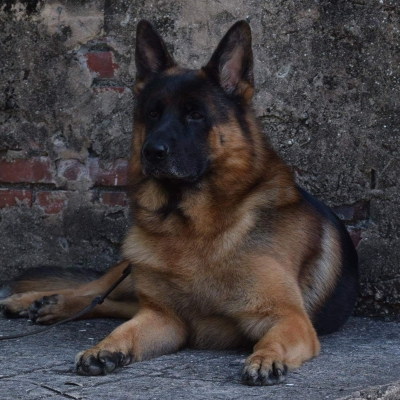 Stormborn German Shepherds